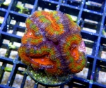 Acanthastrea Lord...