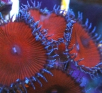 Ultra Palythoa - Red Death 2-3  Polyps