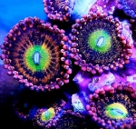 Ultra Zoanthus Alien Antivenoms RaR - Frag 3-5 Polyps