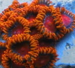 Ultra Zoanthus - Bam Bam Orange - 3-5 Polyps