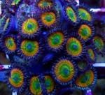 Ultra Zoanthus Sunny Delight - 1 Polyp