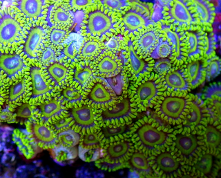 Ultra Zoanthus - La Lakers - Frag 5-8  Polyps